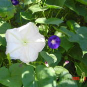 Location: central IllinoisDate: 2005-09-27w/ morning glory (cousins)