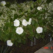 Location: central IllinoisDate: 2005-09-14w/ Sweet Autumn Clematis