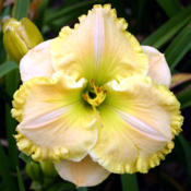 Photo courtesy of Lee Pickles, Chattanooga Daylilies