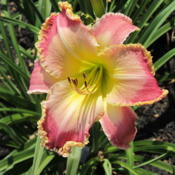 Date: 2012-07-12Photo courtesy of Karen Newman, Delano Daylilies