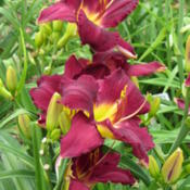 Date: 2012-06-12Photo courtesy of Karen Newman, Delano Daylilies