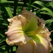 Photo courtesy of Karen Newman, Delano Daylilies