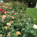 Growing Roses in My Utah Garden