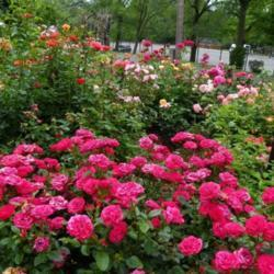 Roses In A Cottage Garden Garden Org