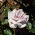 My Big Adventure in Miniature Rose Hybridizing