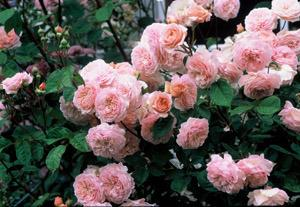 Photo of Rose (Rosa 'Abraham Darby') uploaded by Calif_Sue