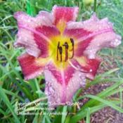 Courtesy Natural Selection Daylilies