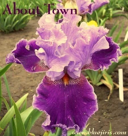 Photo of Tall Bearded Iris (Iris 'About Town') uploaded by Calif_Sue