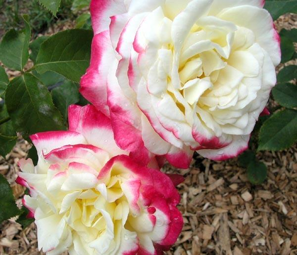 Photo of Rose (Rosa 'Double Delight') uploaded by Cottage_Rose