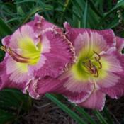 Courtesy Countryside Daylilies
