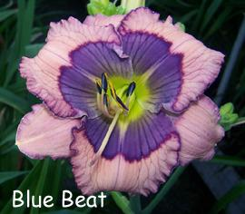 Photo of Daylily (Hemerocallis 'Blue Beat') uploaded by Calif_Sue
