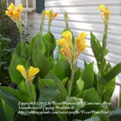 Location: Plano, TXDate: 2009-07-13Clump of Cleopatra cannas