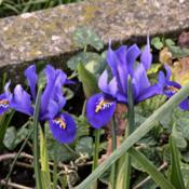 Photo Of The Entire Plant Of Reticulated Iris Iris