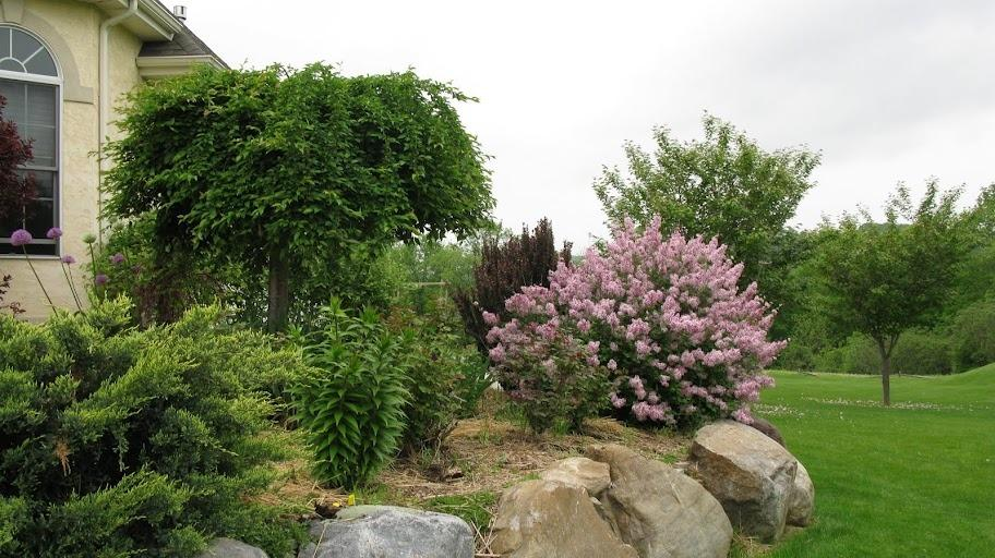 Photo of Dwarf Lilac (Syringa Josee™) uploaded by Roses_R_Red