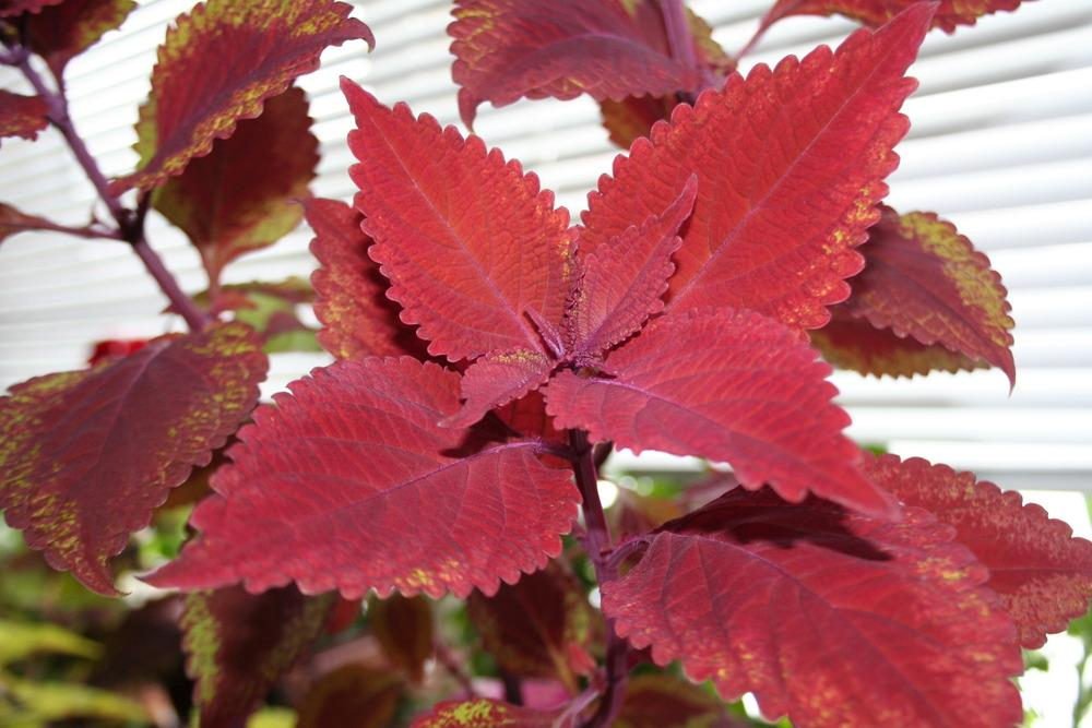 Photo of Coleus (Coleus scutellarioides 'Big Red Judy®') uploaded by 4susiesjoy