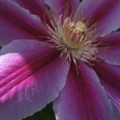 Location: Medina, TNDate: 2011-04-24Clematis 'Nelly Moser' - close up of flower.
