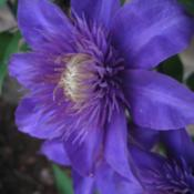 Location: Medina, TNDate: 2011-04-24Clematis 'Multi Blue' close up of bloom.