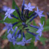 Amsonia 'Blue Ice' is an excellent garden plant. It blooms early,