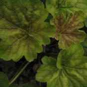 Location: Medina, TNDate: 2012-06-10Heuchera 'Delta Dawn' never achieves the color of the m