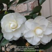 Location: Shade gardenDate: 2/23/13This plant has glossy leaves, with large white semi-double peony