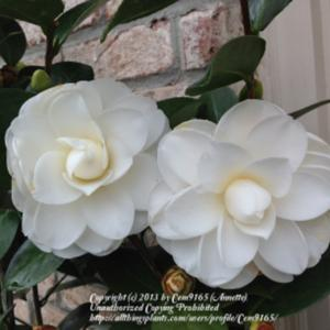 This plant has glossy leaves, with large white semi-double peony