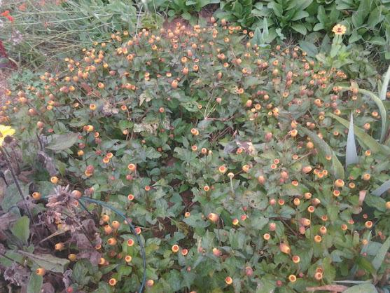 Photo of Toothache Plant (Spilanthes oleracea) uploaded by abhege