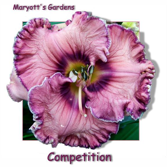 Photo of Daylily (Hemerocallis 'Competition') uploaded by Calif_Sue