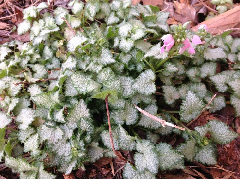 Photo of Spotted Dead Nettle (Lamium maculatum 'Pink Pewter') uploaded by abhege