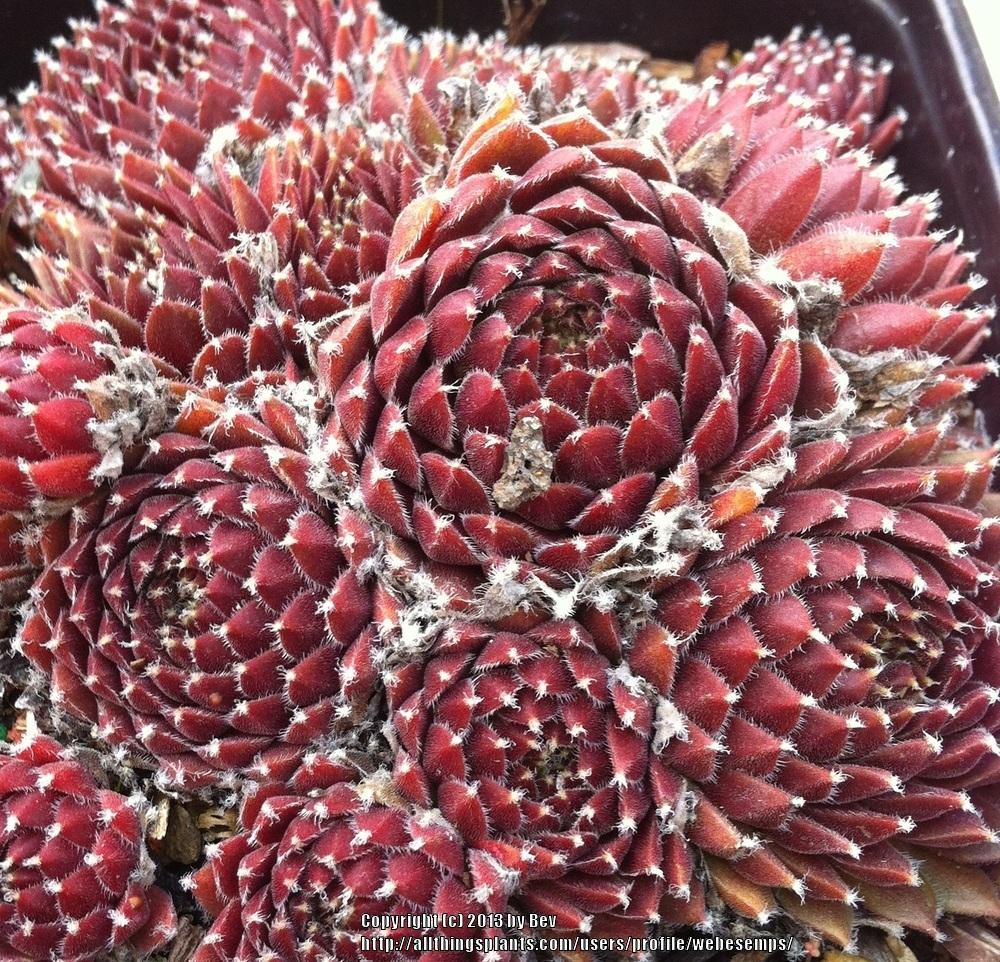 Photo of Sempervivum uploaded by webesemps