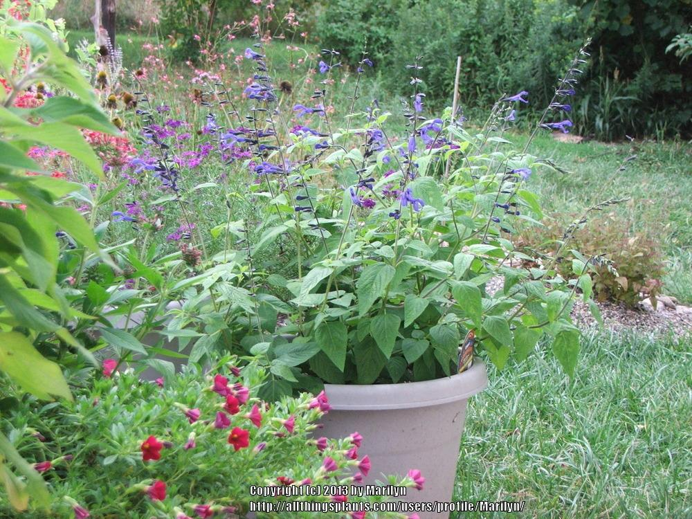 Photo of Salvia (Salvia coerulea 'Black and Blue') uploaded by Marilyn