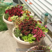 Location: My garden in KentuckyDate: 2007-06-30Containers of mixed Coleus