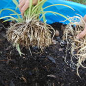 "Date: 2012-10-19You can find a bigger pot, or remove the large ""carrot\"" roots s"