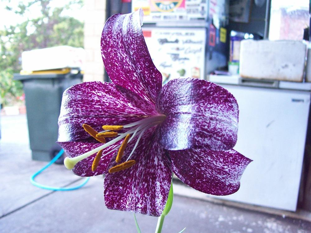 Photo of Lily (Lilium 'Lankon') uploaded by gwhizz