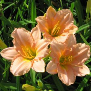 Courtesy American Daylily and Perennials