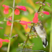 Location: My garden in Northern KYDate: 2012-09-28With a Ruby Throated Hummer enjoying itself!