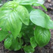 Location: Mason, New Hampshire (zone 5b)Date: 2011-06-05Leaves of a Sweet Basil plant.