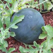 Location: Mason, New HampshireDate: 2012An almost finished 'Sugar Baby' watermelon.