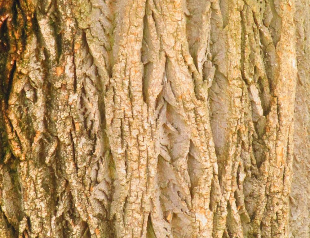 Photo of Amur Cork Tree (Phellodendron amurense) uploaded by jmorth