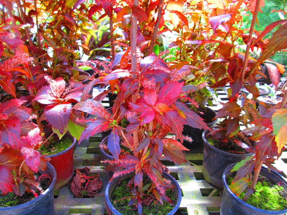 Photo Of The Entire Plant Of Copper Leaf Acalypha Wilkesiana