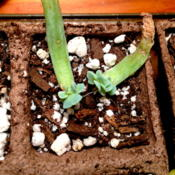 Date: 2013-03-04Newly propagated plants