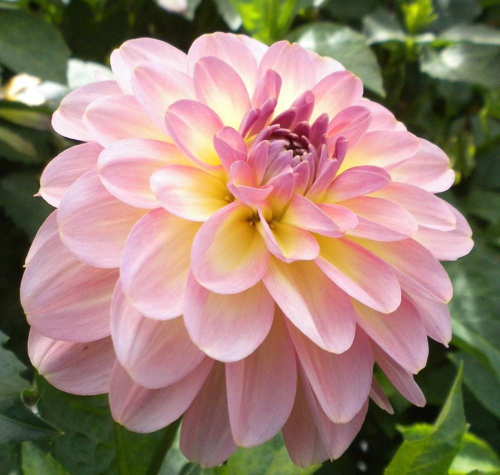 Photo of Waterlily Dahlia (Dahlia 'Miss Molly') uploaded by vic
