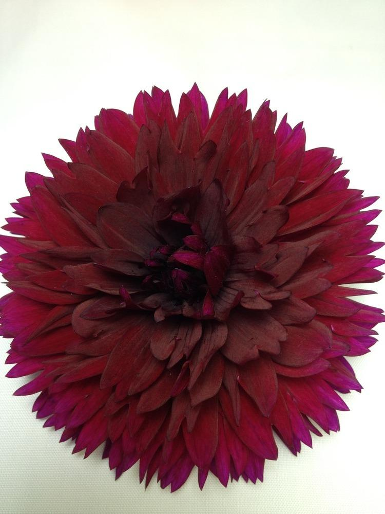 Photo of Dahlia 'Imperial Wine' uploaded by vic