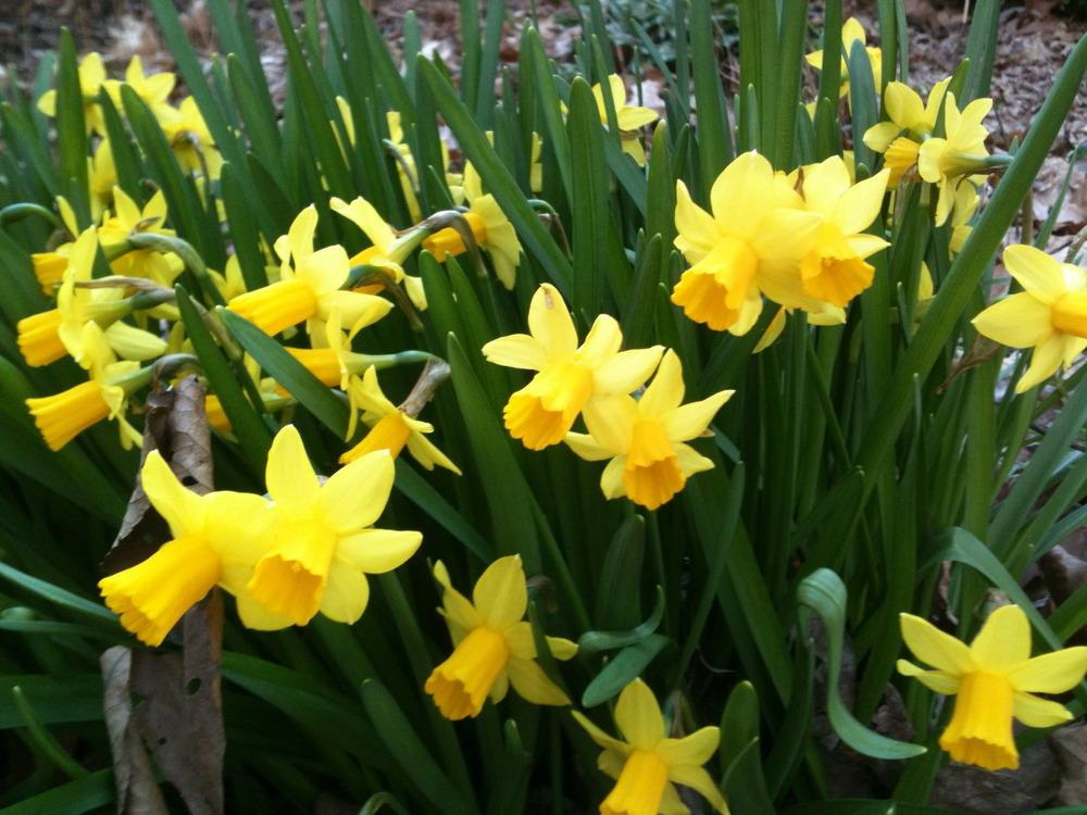 Photo of Daffodil (Narcissus 'Tete-a-Tete') uploaded by janicewood549