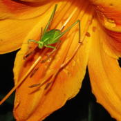 Location: central IllinoisDate: 2011-07-11katydid appears to be skiing daylily slope