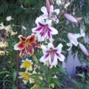 Location: Willamette Valley OregonDate: Summer 2006Orienpet lilies American West and Altari