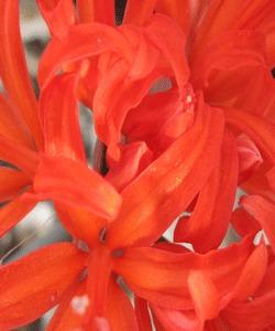 Photo of Guernsey Lily (Nerine sarniensis 'Major') uploaded by eclayne