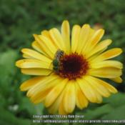 Location: Mason, New Hampshire (zone 5b)Date: 2012-08-11A cheery Calendula receives a summer vistor.