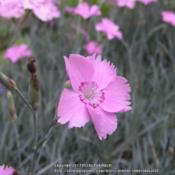Location: Mason, New Hampshire (zone 5b)Date: 2012We grow several Dianthus.  This is our Maiden Pink.