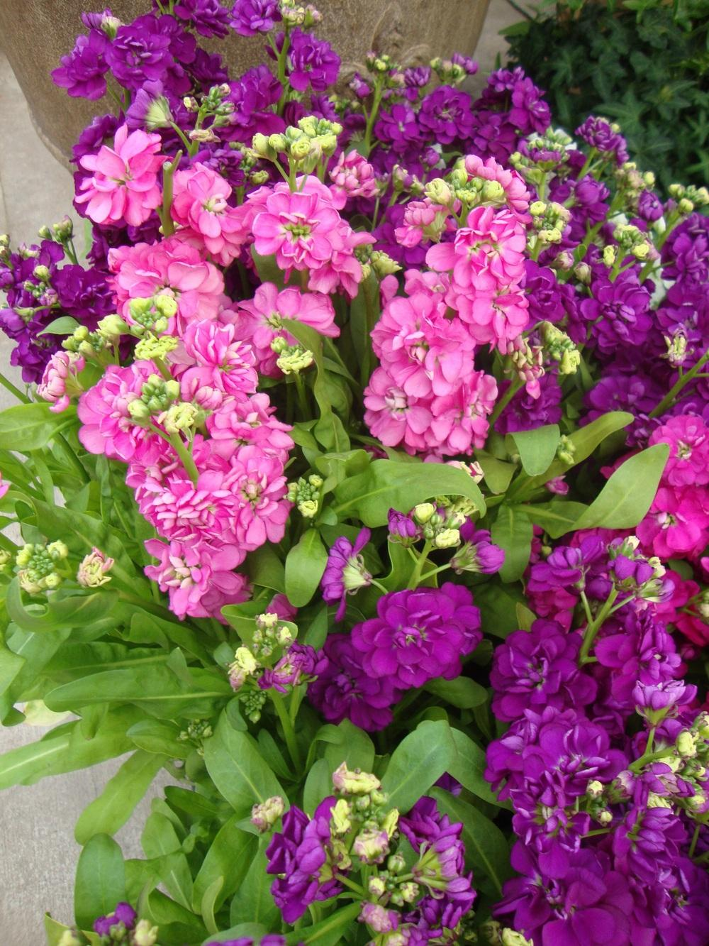 Photo of Stock (Matthiola incana 'Hot Cakes') uploaded by Paul2032