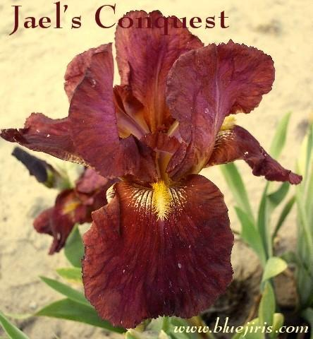 Photo of Tall Bearded Iris (Iris 'Jael's Conquest') uploaded by Calif_Sue